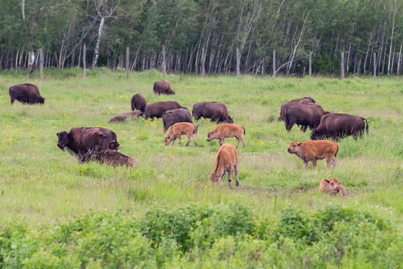 bisontes Parque Nacional de Elk Island