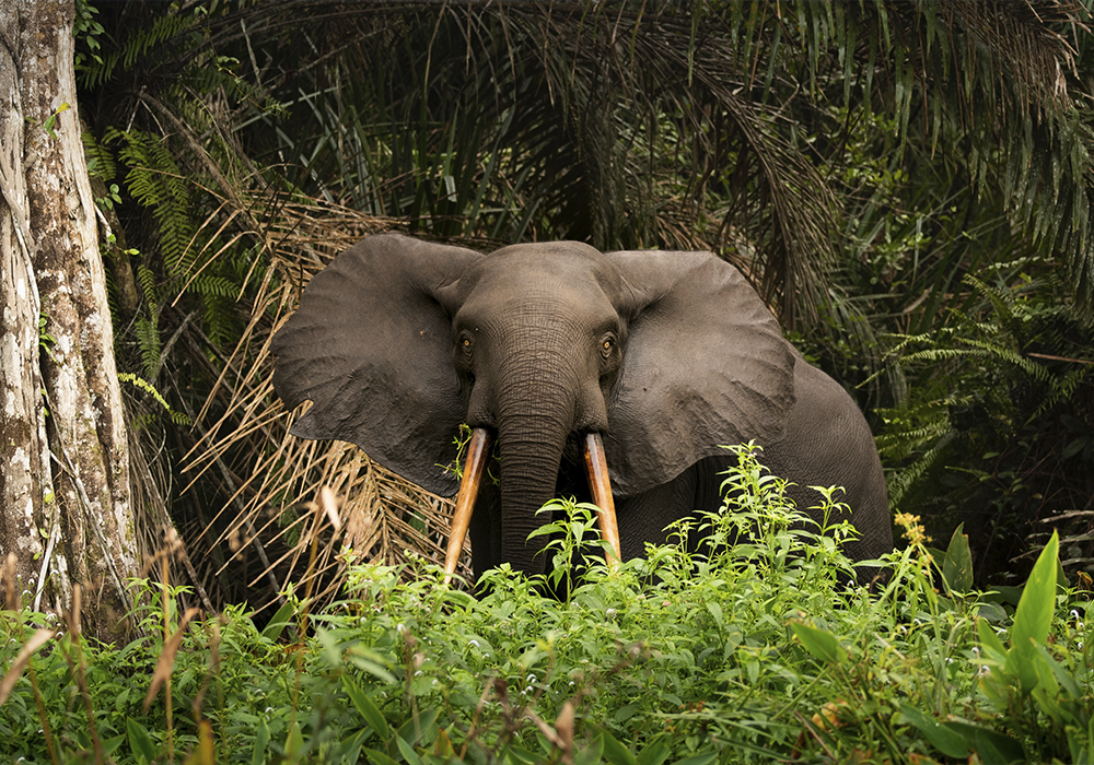 foto gabon africa elefante santuario parque nacional
