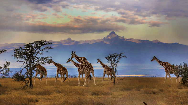 jirafas en Kenia