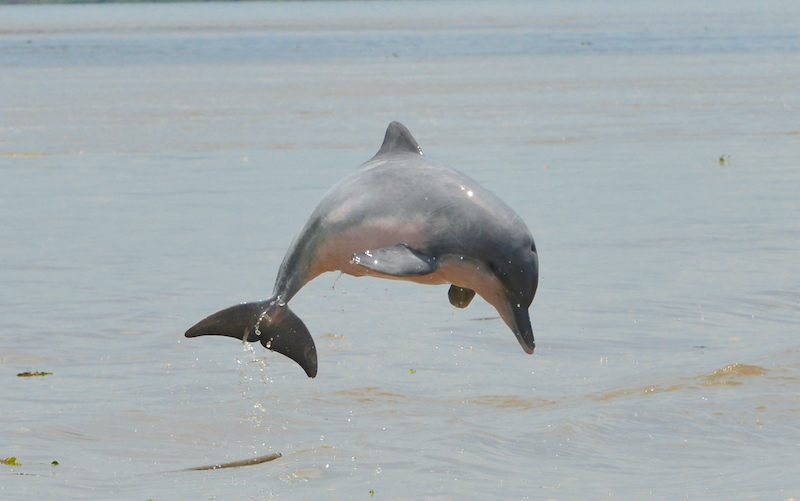 tucuxi delfín de agua dulce