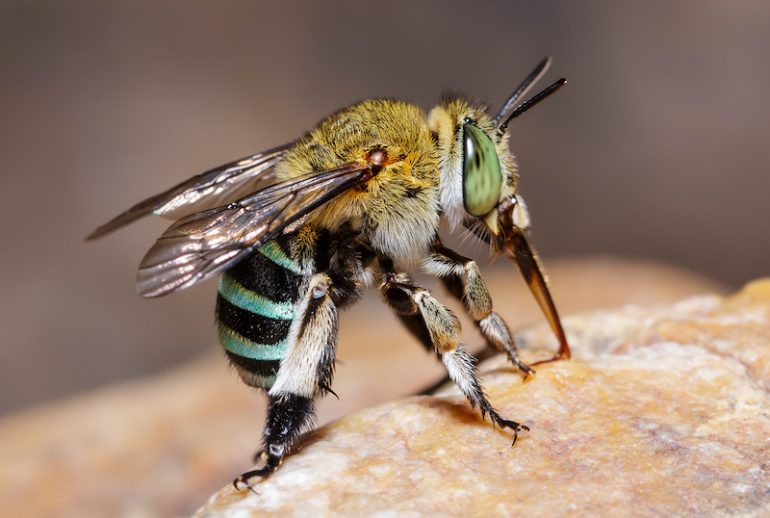 abejas azules Australia
