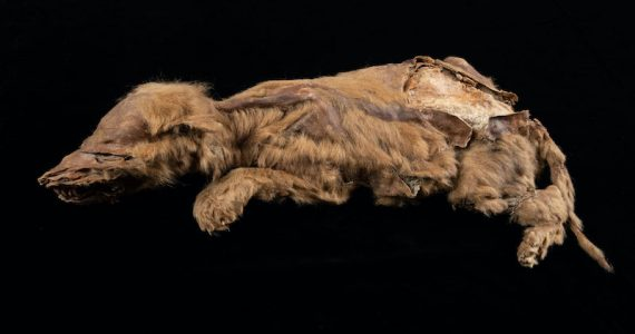 lobo gris Yukon canada3