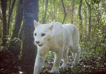 puma blanco extremadamente raro