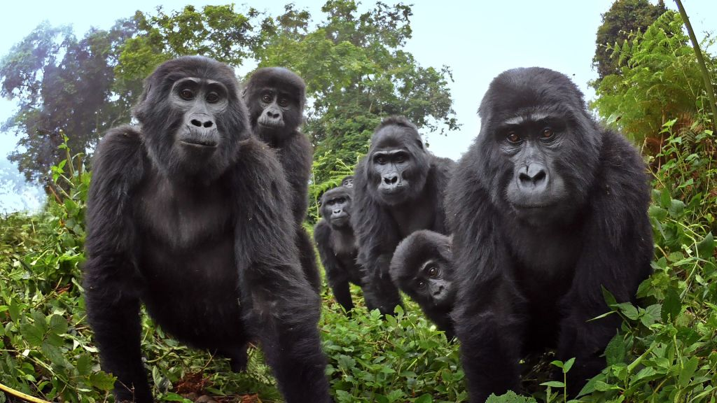 gorilas cantan a la hora de cenar