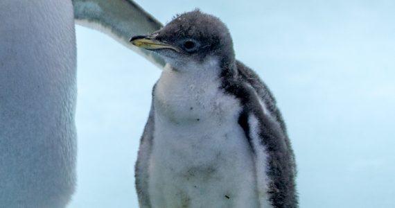 Alex pingüino gentoo