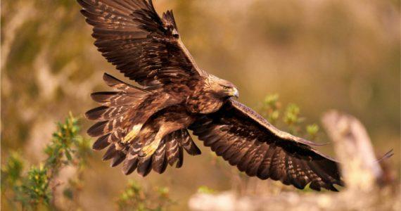Águila real en México