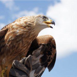 Águila a punto de emprender el vuelo
