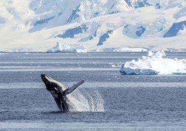ballena azul polos