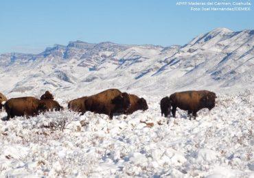 bisonte americano Coahuila México1