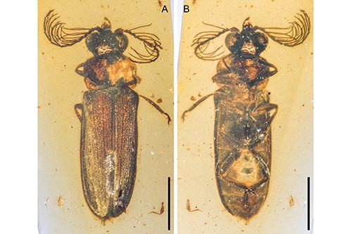 escarabajo bioluminiscente