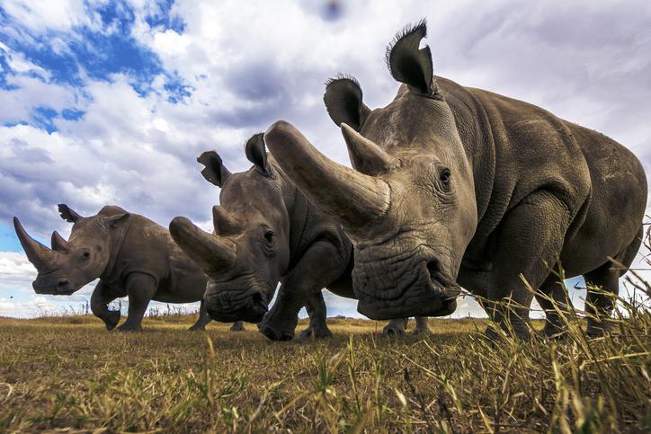 rinocerontes especies en peligro de extinción