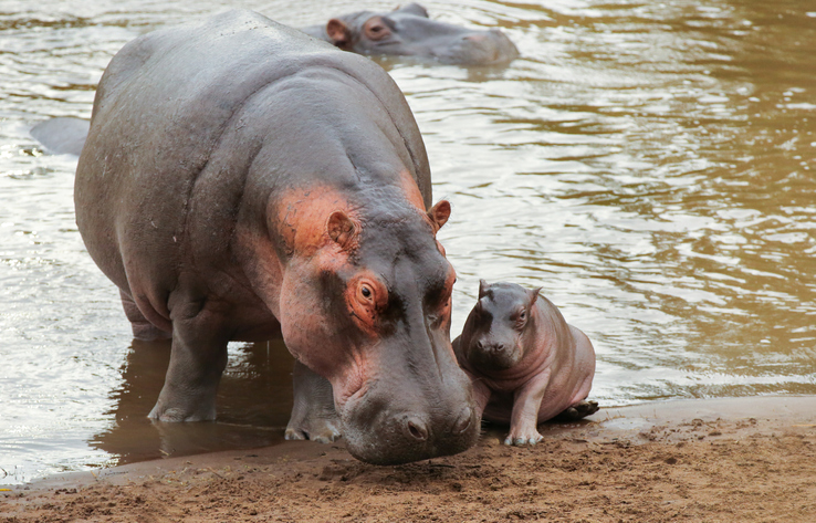 hipopótamos Pablo Escobar