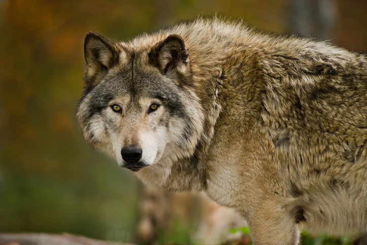 lobo gigante