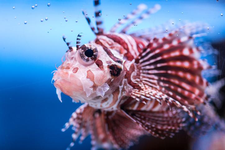 pez invasor