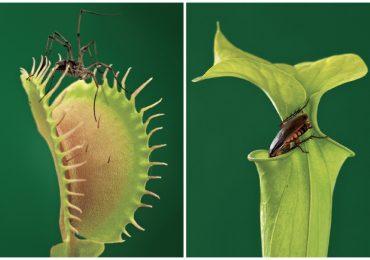Qué son las plantas carnívoras