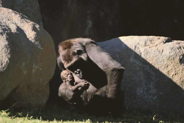 simios con Covid-19