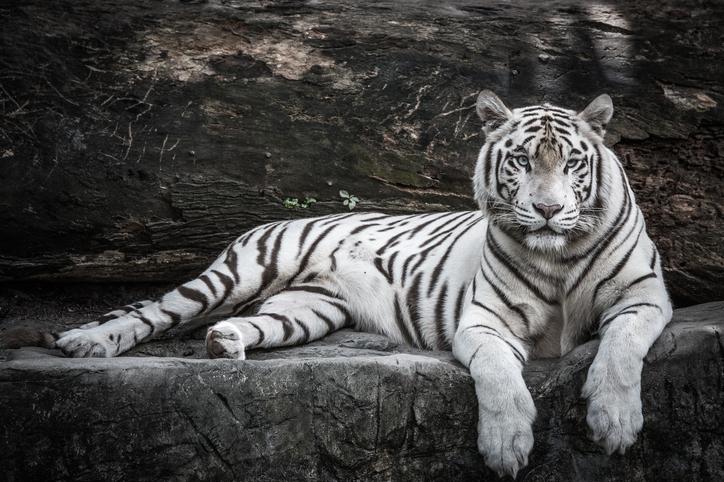 nieve tigresa blanca