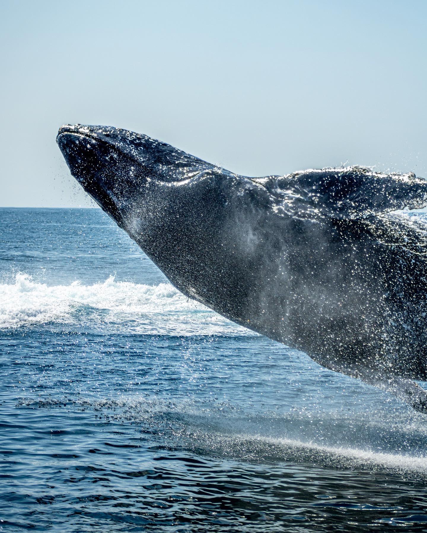 ballenas azules mueren