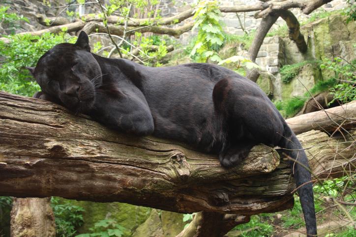 jaguar negro Mérida