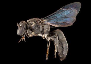 abeja australiana