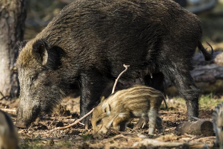 cerdos salvajes