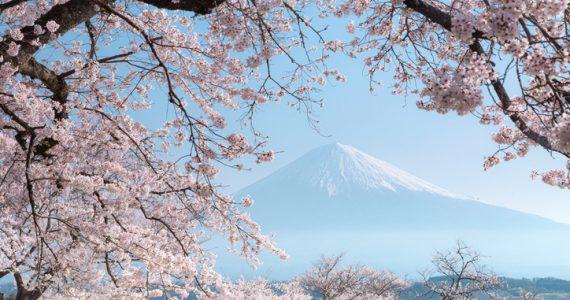 temporada de cerezos