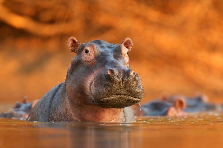 esterilización de hipopótamos