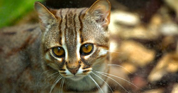 gato herrumbroso