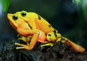 ranas doradas
