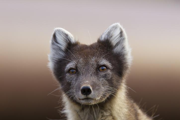 zorro del ártico