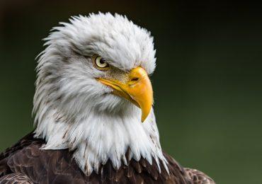 águilas