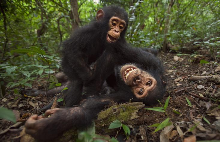 mamás chimpancés