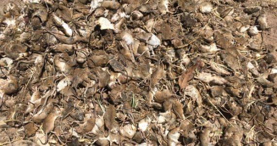 plaga de ratones Australia veneno