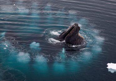 ballena jorobada red de burbujas