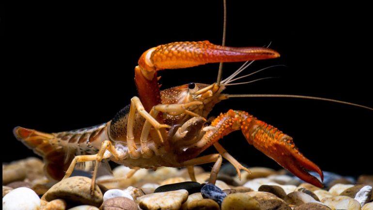 cangrejos de río