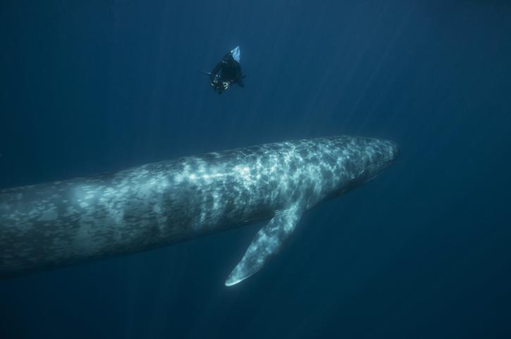 Ballenas azules pigmeas: descubren una población nunca antes vista.