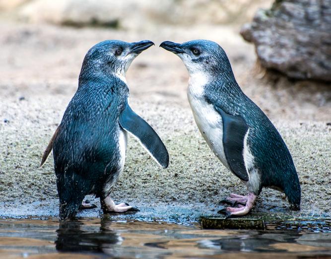 pingüinos de Australia