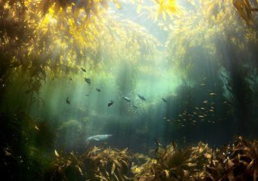 bosques de algas
