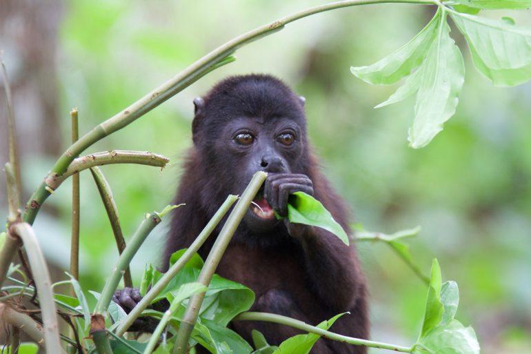 monos saraguatos