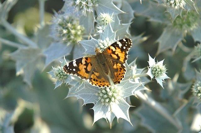 Mariposa del Sahara