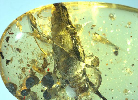 caracol fosilizado