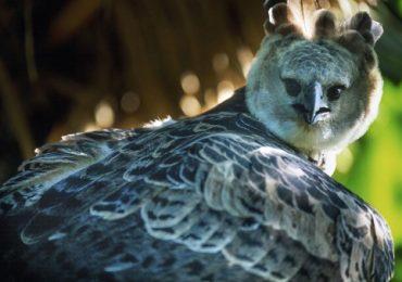 águilas harpías