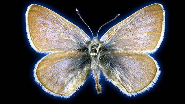 insecto extinguido