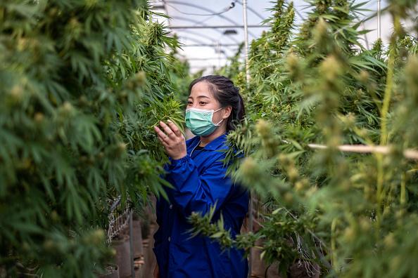 domesticación de la marihuana