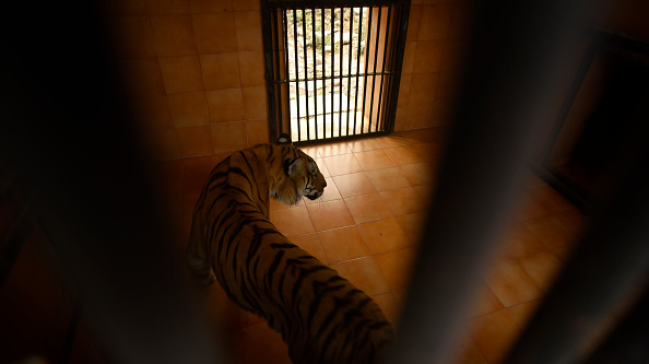 crianza de tigres
