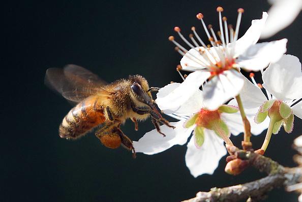 cafeína abejas