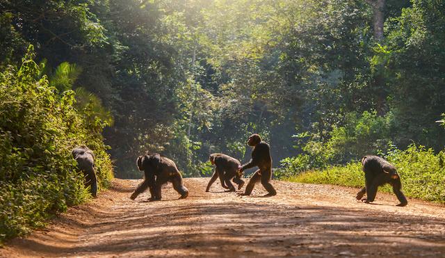 chimpancés ataque gorila