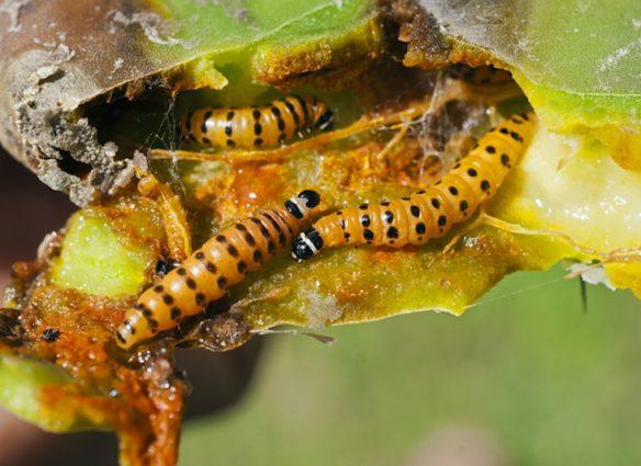 Cactoblastis cactorum