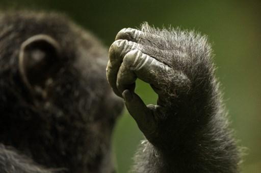 chimpancé albino