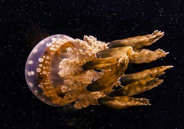 medusa mediterránea